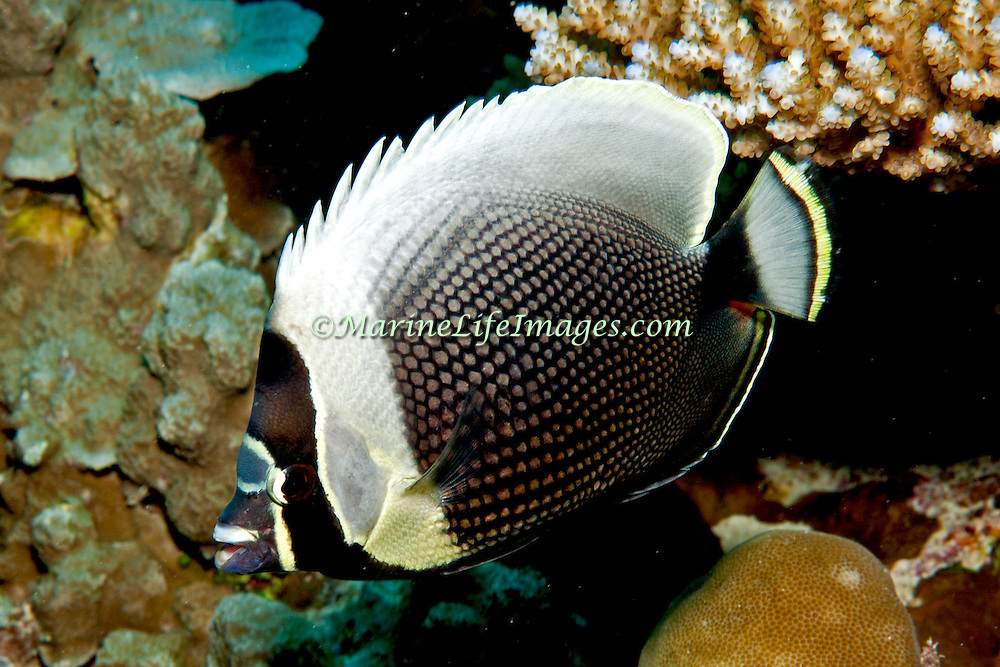 Reticulated Butterflyfish inhabit reefs. Picture taken Palau.