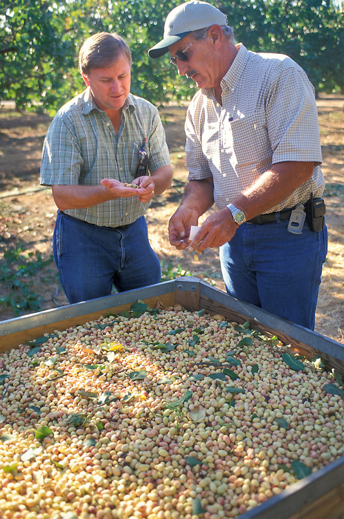CENTRAL VALLEY, CALIFORNIA - Extension specialist Mark Freeman and grower Richard Torigiani of S&J Ranch in pistachio grove
