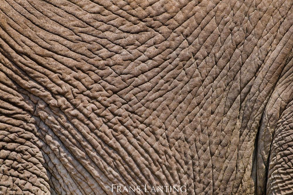 Elephant skin, Loxodonta africana, Etosha National Park, Namibia