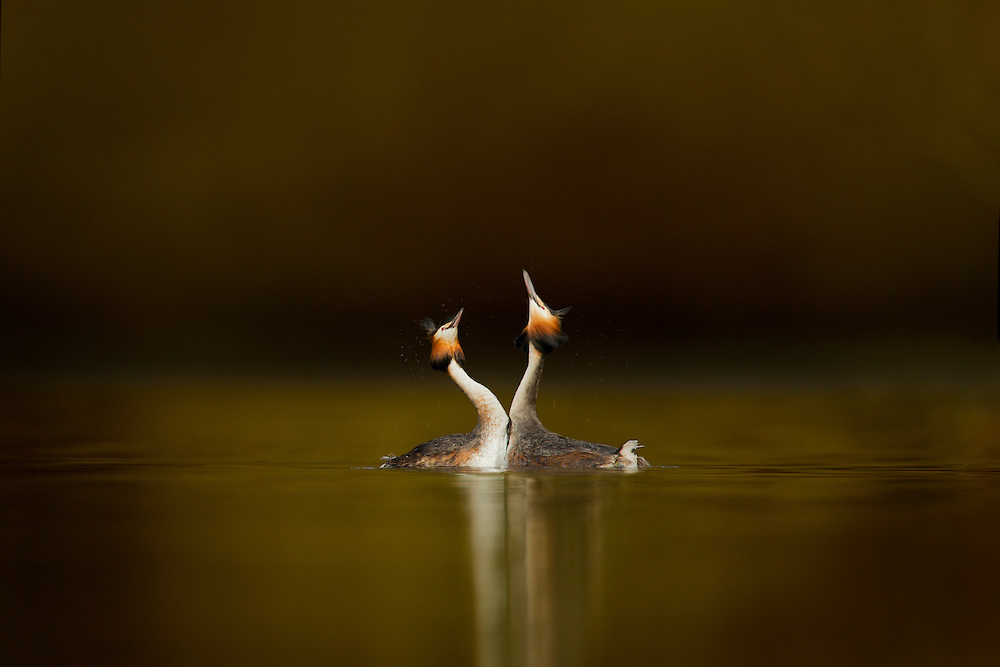 Great crested grebes (Podiceps cristatus) pair performing courtship displaying, Cheshire, UK