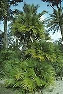 European Fan Palm Chamaerops humilis Height to 3m<br /> Can develop into a tall tree but grazing usually limits stature. Palmate leaves are deeply divided and up to 1m across. Flowers are borne on 30cm long spikes. Fruits are rounded and yellow. Widespread across Mediterranean, mainly near coasts.