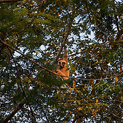 White-handed gibbons, also known as lar gibbons, live in the tropical rainforests of southern and Southeast Asia. Of all the gibbon species, white-handed gibbons inhabit the greatest north-south range. They make their homes in the countries of Indonesia, Laos, Malaysia, Myanmar, and Thailand. Central lar gibbon (H. l. entelloides)