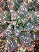 Succulent gardem, xeriscape, Garrapata, California