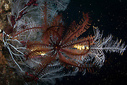Oxycomanthus plectrophorum (Feather Star)