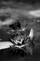 Two waters lilies in a pond.