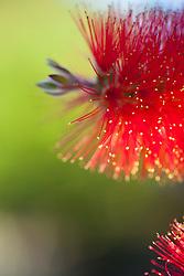 Red Bottlebrush Flower, Close-up view