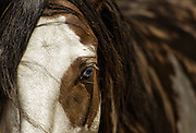 Wild Mustang With Blue Eye