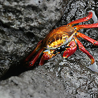 Alberto Carrera, Red Rock Crab, Zayapa, Abuete Negro, Grapsus grapsus, Galápagos National Park, UNESCO, World Heritage Site, Biosphere Reserve, Galápagos Islands, Ecuador, South America