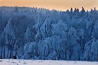 Carpathian spruce forest (Picea abies), Bieszczady National Park, Poland