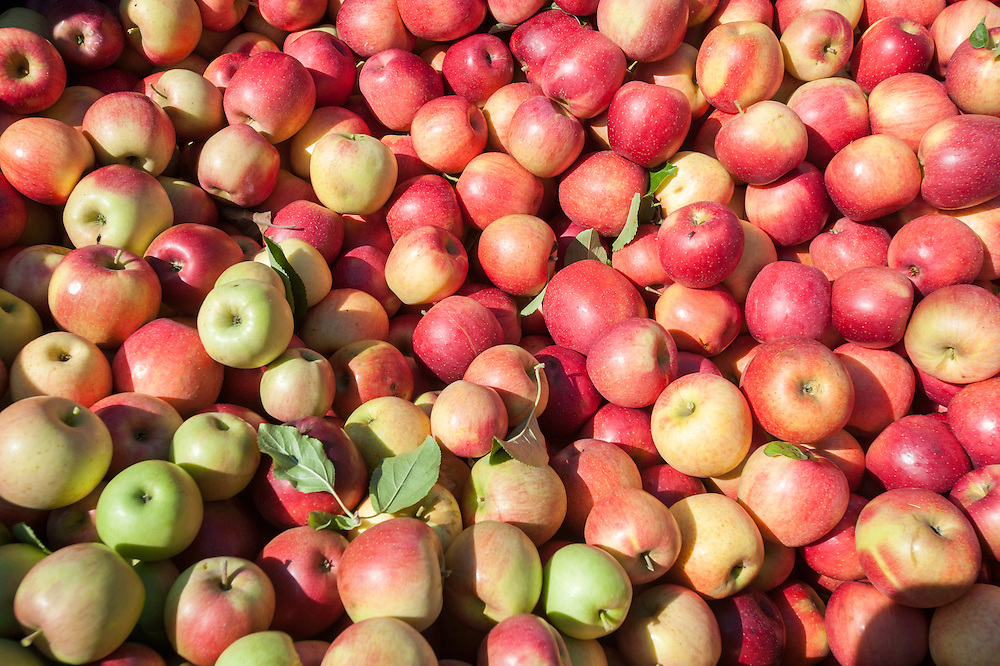 Pile of apples at an apple orchard in Aspers, Pennsylvania, USA