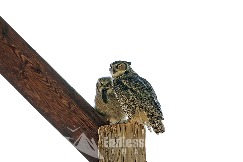 In the Ogden Valley in Northern Utah an old pole hay barn hosts a pair of Great Horned Owls and Owlets this adult male has just brought one of the Owlets a mouse which it caught the Owlet crawled its way up one of the poles in the barn up high and away from the ground it is now the first of May and still a few weeks from being able to fly.