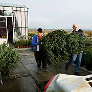Nederland Barendrecht 29 november 2008 20081129..De verkoop van kerstbomen is al vroeg gestart in Barendrecht dit jaar, nog voordat het sinterklaas feest is geweest staan de bomen al te koop. Een man laat zijn kerstboom in, in een aanhangwagen..Foto: David Rozing