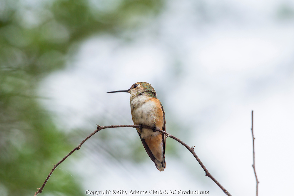 rufous hummingbird, Selasphorus rufus, in October, San Jose Ranch, near Laredo, Texas.