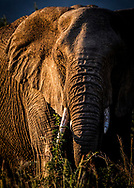 Amazing and closer elephant's portrait with a beautiful sunset warm light and cold light shadow at Moremi National Park, Botswana, Africa.<br /> photo credit by: &copy;Claudio Zamagni