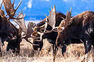 """Bull moose herd fighting in Grand Teton National Park, Jackson Hole, Wyoming<br /> <br /> For production prints or stock photos click the Purchase Print/License Photo Button in upper Right; for Fine Art """"Custom Prints"""" contact Daryl - 208-709-3250 or dh@greater-yellowstone.com"""