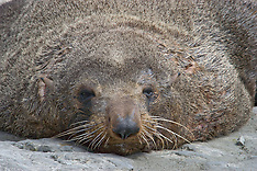 New Zealand Fur Seal, Zeebeer, New Zealand, animals