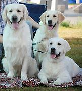 Israel, Tel Aviv, The International Dog Show 2010 Three Labrador Retrievers