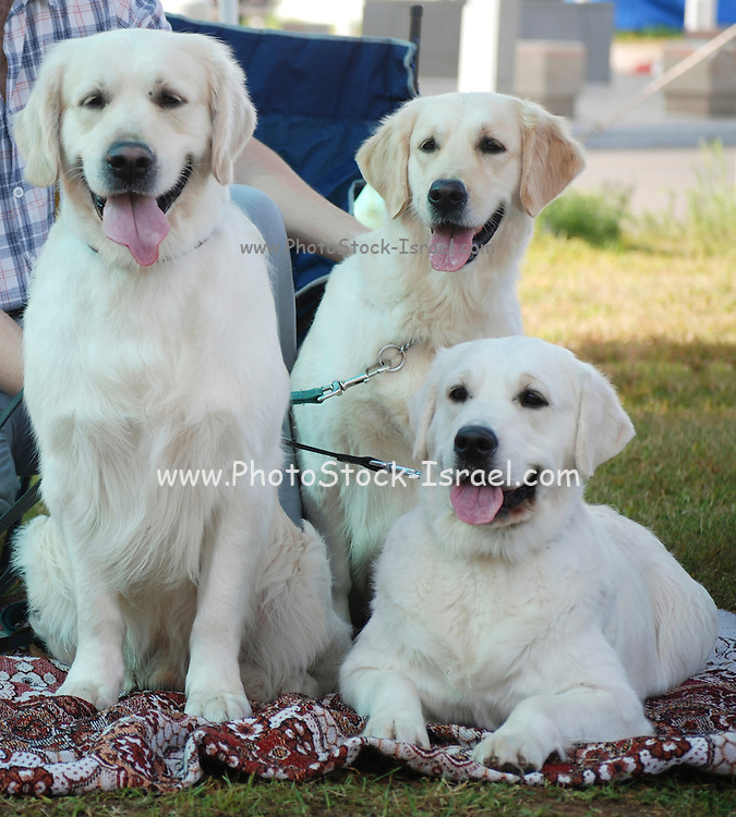 Israel, Tel Aviv, The International Dog Show 2010 Three Labrador Retrievers