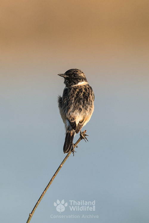 The Siberian stonechat or Asian stonechat (Saxicola maurus) is a recently validated species of the Old World flycatcher family (Muscicapidae).