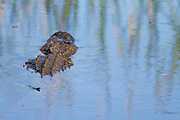 American Alligator swimmimg in a fresh water depression. Savannah National Wildlife Refuge. Hardeeville, SC