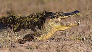 Caiman (Caiman yacare) from Pantanal, Brazil.