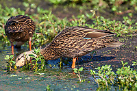 Mottled Duck (Anas fulvigula),  Green Cay Nature Area   Photo: Peter Llewellyn
