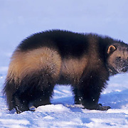 Wolverine, (Gulo gulo) Sniffing snow. Winter. Rocky mountains. Montana. Captive Animal.