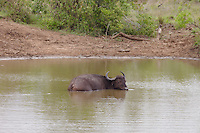 Water Buffalo wading in river