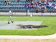 A trainer feeds a crocodile as a part of a show at the Austrailian Zoo, Beerwah, QLD, Australia.