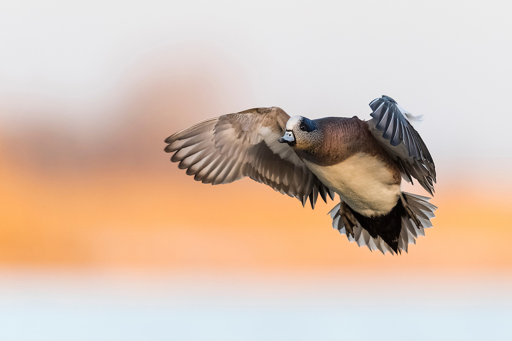 American Wigeon, Anas americana, male, Saginaw Bay, Michigan