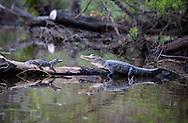 Aligators on a long in a bayou leading to ake Maurepas