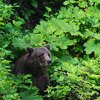 Grizzly bear sticks its head out from the cover of the green foliage along the Nakina River in British Columbia Canada.