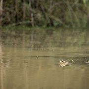 King Cobra (Ophiophagus hannah) swimming in situ in Kaeng Krachan national park, Thailand