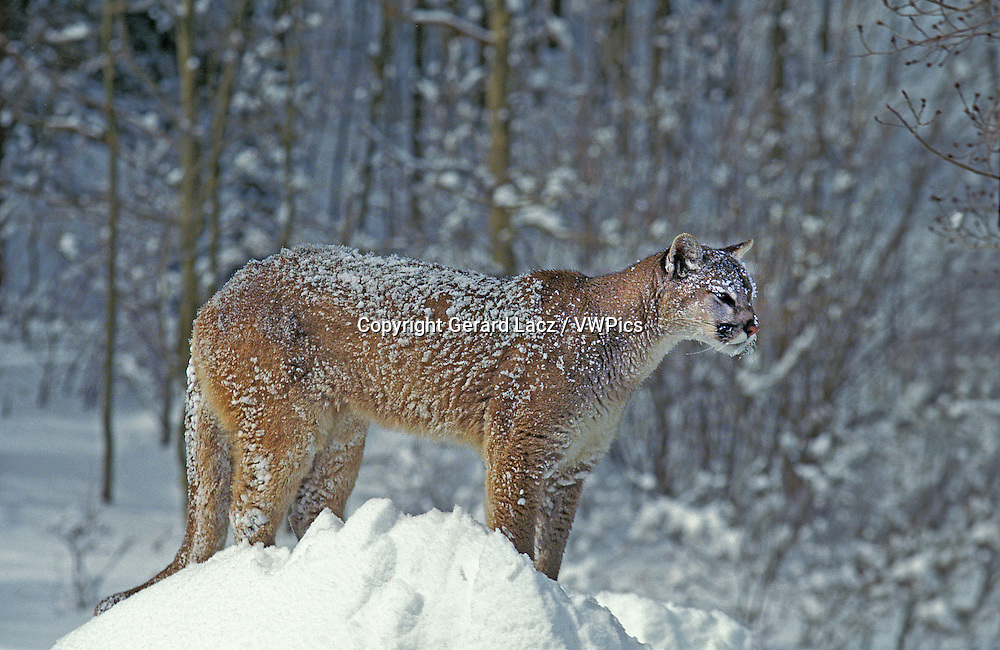Cougar, puma concolor, Adult standing on Snow, Montana