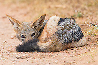 Black Backed Jackal resting in an opening with its tail curled up around his body. Addo Elephant National Park. Eastern Cape. South Africa