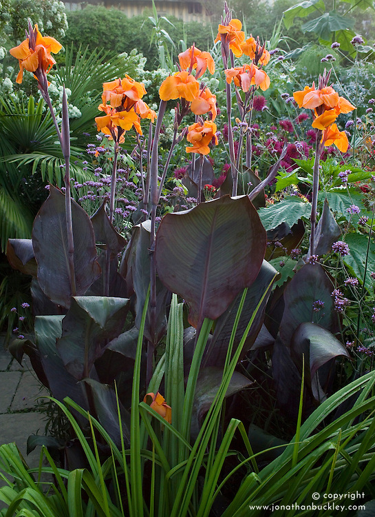 Canna 'Wyoming' in the exotic garden at Great Dixter