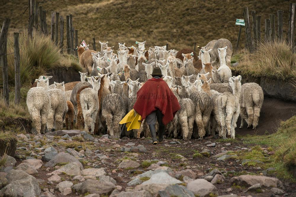 Quichua Indian Man &amp; Alpacas (Vicugna pacos)Pulingue San Pablo community<br /> Chimborazo Province<br /> Andes<br /> ECUADOR, South America