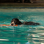 The photography was made during the 2015 Engliish Springer Spaniel Field Trial Association (ESSFTA) Dock Divingl.  The event took place, Thursday, September 25th, at Purina Farms, in Gray Summit, MO.