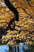 Herbstlicher Baum über Teich, Schlosspark Pillnitz, Pillnitz, Dresden, Sächsische Schweiz, Elbsandsteingebirge, Sachsen, Deutschland | autumn, Pillnitz Castle Gardens, Pillnitz, Dresden, Saxon Switzerland, Saxony, Germany
