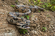 Boa<br /> Boa Constrictor<br /> Machalilla National Park<br /> Coast of ECUADOR.  South America