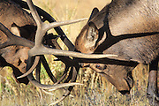 Two bull elk battle for dominance during the autumn rut. Bull on left has broken antler.