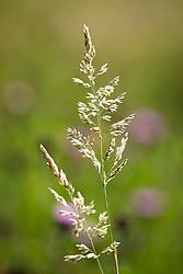 Yorkshire Fog grass . Holcus lanatus