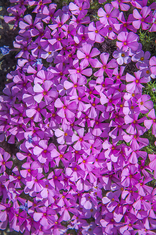 Distinct from other native phloxes, spreading phlox grows in often harsh environments such as rocky desert cliffs, open areas with little water and lots of exposure to heat, wind and bitter cold. As a result, these tough little perennials have hard woody stems, and sharp needle-like leaves that stay low to the ground and bloom in profuse mats in the spring. These beautiful examples were found at the top of a lava plateau called The Peninsula in Central Oregon above Deschutes Canyon.