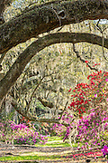 Southern azaleas in peak bloom under a canopy of centuries old Live Oak trees covered with Spanish moss on the first day of spring at Magnolia Plantation March 21, 2016 in Charleston, SC.