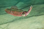 Caribbean Reef Squid (Sepioteuthis sepioidea) at night.