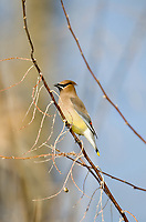 Cedar Waxwing feeds on berries but will eat insects if berries are not available they also like to hang around water especially rivers and creeks.
