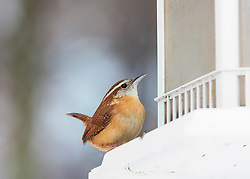 In summer it can seem that every patch of woods in the eastern United States rings with the rolling song of the Carolina Wren. This shy bird can be hard to see, but it delivers an amazing number of decibels for its size. Follow its teakettle-teakettle! and other piercing exclamations through backyard or forest, and you may be rewarded with glimpses of this bird's rich cinnamon plumage, white eyebrow stripe, and long, upward-cocked tail. This hardy bird has been wintering farther and farther north in recent decades.
