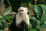 """El mono carablanca, maicero cariblanco, capuchino, tanque, machín, caurara o carita blanca1 (Cebus capucinus) es un mono del nuevo mundo de tamaño medio perteneciente a la familia Cebidae.<br /> <br /> Es nativo de los bosques de América Central y de la parte más noroccidental de Sudamérica y muy valioso por su papel como dispersador de semillas y polen. En los últimos años se ha convertido en una especie muy popular en Norteamérica.<br /> <br /> Es un mono de tamaño mediano, que alcanza en peso hasta 3.9 kg (1500 - 4000 g). Son casi completamente negros, pero tienen cara rosada y pelo blanco en gran parte del frente de su cuerpo, por eso se les llama comúnmente """"cariblancos"""".<br /> <br /> En su hábitat natural es muy versátil, adaptándose a varios tipos de bosques y consumiendo muchos tipos de comida que incluyen frutas, diferentes vegetales, invertebrados y pequeños vertebrados. Viven en grupos que incluyen machos y hembras y que pueden exceder los 20 individuos. Se ha documentado que esta especie es capaz de recurrir a la creación y uso de herramientas como armas o instrumentos para obtener comida.<br /> <br /> En Panama se pueden encontrar ocho diferentes especies de primates, de los cuales varios son considerados endémicos. ©Alejandro Balaguer/ Fundacion Albatros Media"""
