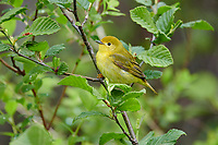 Female American Yellow Warbler (Dendroica petechia) perched in a tree Broad Cove, Nova Scotia, Canada,