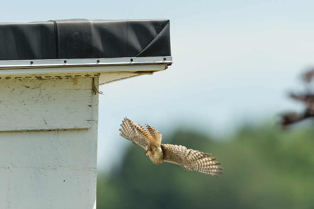 Wings deployed allow for a quick exit out of nest.